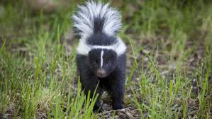 how many times can a skunk spray reference com