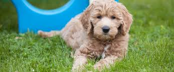 Gingerdoodle by Rosewood Kennel Breeder Of Top Quality Goldendoodle Puppies