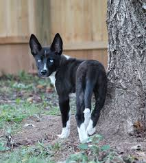 belgian sheepdog nc yadkinville nc border collie meet luna a dog for adoption