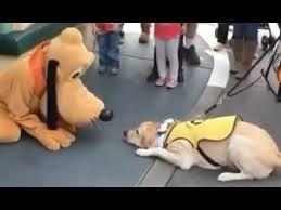 service dog meets disney u0027s pluto reaction priceless