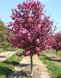 Small Trees For Backyard by Best 25 Flowering Crabapple Ideas On Pinterest Flowering