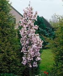 different types of ornamental cherry trees ceardoinphoto