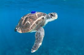 imagenes tortugas verdes las tortugas verdes en canarias amenazadas por la pesca y la basura
