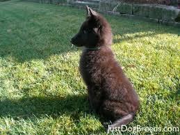 belgian sheepdog puppy 15 best belgian shepherd tervuren images on pinterest belgian