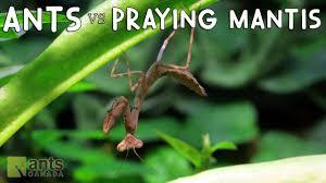 ants vs praying mantis youtube