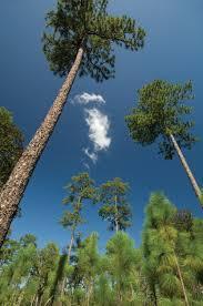 the longleaf pine u2013 garden u0026 gun