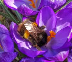 Best Spring Flowers - urban pollinators early spring flowers for pollinators