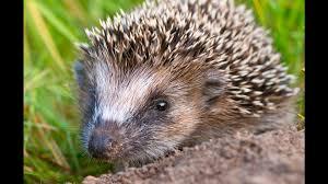 hedgehog closeup2 ngsversion 1411400369198 jpg
