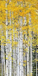 161 best watercolor trees images on pinterest aspen trees trees aspen trees