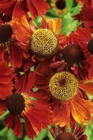 Pictures Of Flowers by 25 Best Fall Flowers U0026 Plants Flowers That Bloom In Autumn