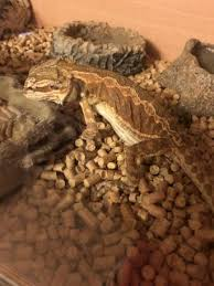 red orange bearded dragon reptiles rehome buy sell
