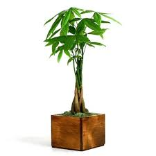 money tree wooden pot from easternleaf