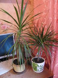 dracaena how much water should i give