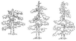 sketches for eastern red cedar tree sketch www sketchesxo com