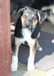 is an australian shepherd smart i found duncan on beagles 15 and pm