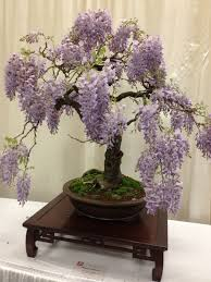 wisteria sinensis australian bush flower chinese wisteria bonsai san francisco flower and garden show