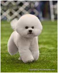 bichon frise intelligence related image bichon frisé worldly dogs worldlydogs com200