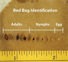 Bed Bug Bed Bug Pictures Zappbug