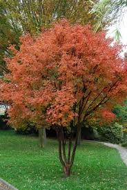34 best multi stem trees and shrubs images on front