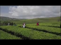 Teh Kayu Aro pesona kerinci kebun teh kayu aro