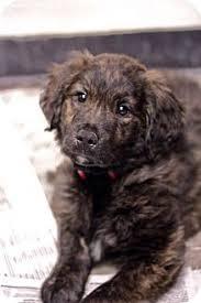 afghan hounds for adoption best 20 mastiff mix ideas on pinterest great mastiff mutt