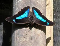 Blue And Green Butterfly - most recent photos the butterfly farm st maarten st martin aruba