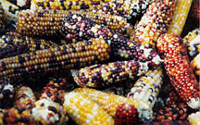 gourds indian corn seeds and fall decorations by eckler farms