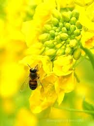 Flowers Bees Pollinate - 22 best pollination bees u0026 wild flowers images on pinterest
