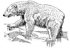 polar bear clipart line drawing pencil and in color polar bear