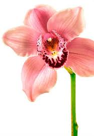 the meaning symbolism of orchid most coveted of ornamental