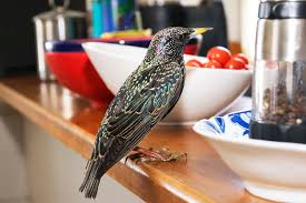 birdist rule 72 it u0027s okay to starlings audubon