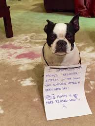 Boston Terrier Meme - the 9 ultimate boston terriers of dog shaming barkpost