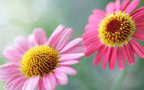 hd flower wallpapers 6895322