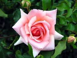 Meaning Of Pink Roses Flowers - rose flower flowers world
