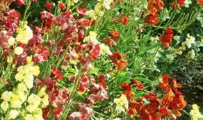 wall flowers plant of the week wallflowers garden style express co uk