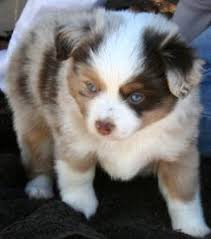 australian shepherd 6 jahre miniature aussies for sale in texas shepherd breeders
