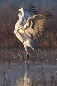 sandhill cranes return to central valley wintering grounds cdfw news
