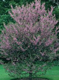 decorative trees for home flowering trees for spring types of trees hgtv