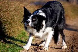 australian shepherd vs husky what is aggression reactivity vs aggression american kennel club
