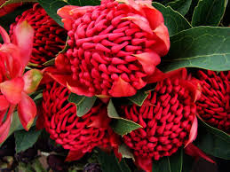 5 native plants flower waratah flowers australia red native plants tree group