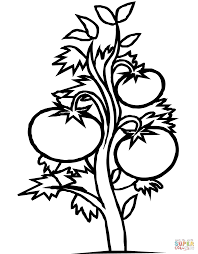 tomato plant coloring page free printable coloring pages