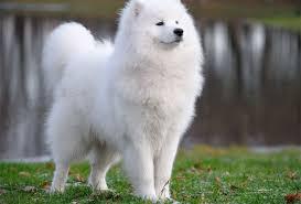 american eskimo dog small samoyed and american eskimo dogs for everyone