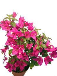 balkon grã npflanzen balkonpflanzen pink rosa pflanzenklick