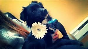 affenpinscher calgary photos national adopt a black dog day