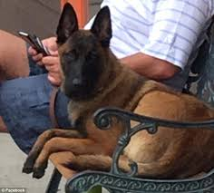 belgian shepherd stomach cancer rylee the dog swam six miles and walked 12 to be reunited with her