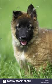 belgian sheepdog breeds tervuren belgian shepherd dog puppy stock photo royalty free
