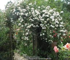 training climbing roses garden org