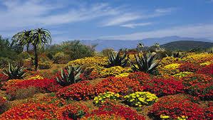 Kirstenbosch National Botanical Garden The Kirstenbosch National Botanical Garden Afro Tourism