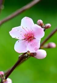 Peach Flowers Flower Putney Farm