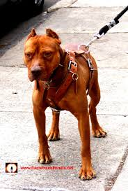 american pitbull terrier kingfish bloodline southern inferno old family red nose american pit bull terrier
